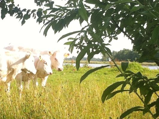 Groepsaccommodatie-Friesland-koeien